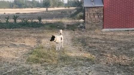 黑白配生出的狗,看这个样子,感觉脑袋是接上去的
