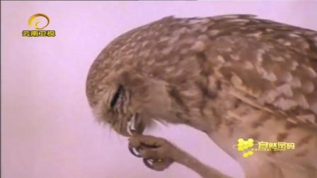 猫头鹰捕捉蟋蟀吃,整个过程只有几秒钟,只有慢镜头才能看得清