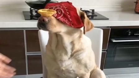 拉布拉多小七蒙眼接蛋挞吃,狗狗太厉害了!