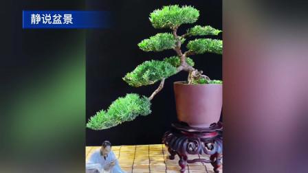新制作几盆雀舌罗汉松盆景欣赏,枝繁叶茂,造型秀美雅致
