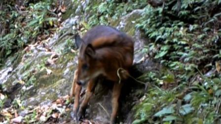 新闻30分 2020 云南保山:红鬣羚出没 两年发现10头以上