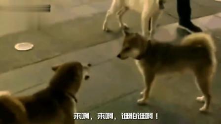 搞笑动物配音:两只小狗在街上互不相让,铲屎