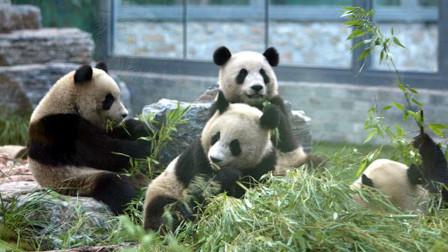 可可爱爱!动物园为熊猫举办成熊礼:吃完生日蛋糕后便便都是香的
