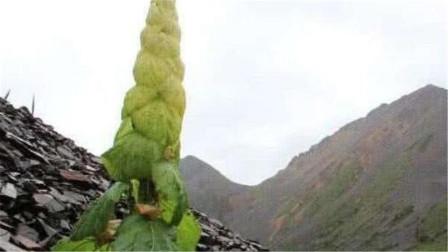 """川藏线上旅游,看到""""大白菜""""千万不要摘,否则警察会找上你"""