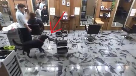 拉布拉多在理发店打杂,店里生意越来越好了,真是一只招财狗