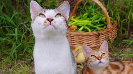 玉米带青椒鸭避暑