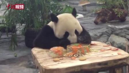 """湖南凤凰: 大熊猫""""府府""""吃冰蛋糕庆生"""