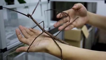 """我国发现巨型""""竹节虫"""",经常把自己吃掉,网友:太狠了"""