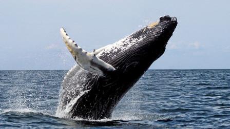 为什么只吃小虾的蓝鲸,能长这么大?专家给出答案