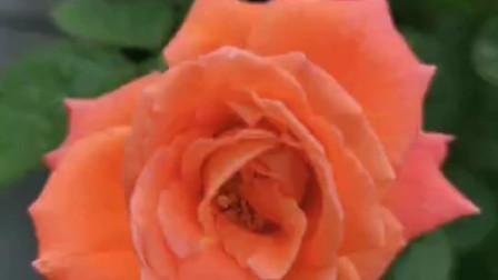 桔红色系的月季图片集锦