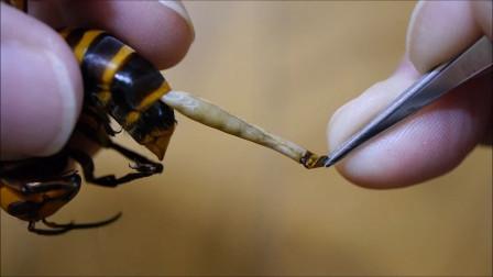 """马蜂体内似有""""异物"""",用镊子一夹,一根长长的东西就被扯了出来!"""