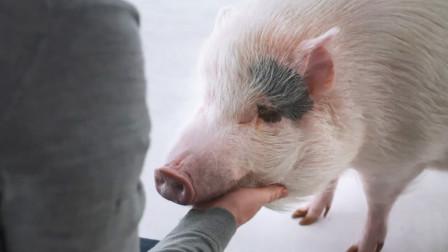一家奇特餐厅,客人想要吃肉,就必须亲手从活猪身上割!