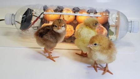 塑料瓶能孵出小鸡吗?老外亲自实验,结果让人意外