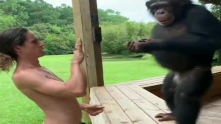 外国小哥和猩猩玩耍,真是太逗了!