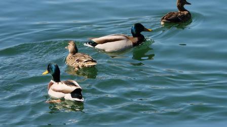 生态环境和文明程度的改善,越来越多的野鸭子回归呼伦贝尔市海拉尔区伊敏河安家落户