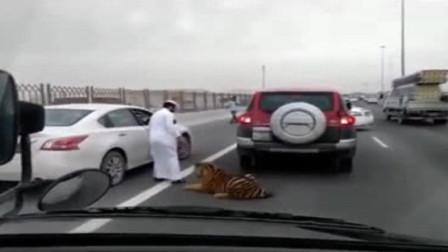 高速路上突然出现老虎,导致交通堵塞,主人赶紧上前拉走!