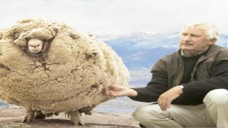 """国外剃羊毛比赛,羊还没反应过来,""""衣服""""就没了,羊:刚发生了啥?"""