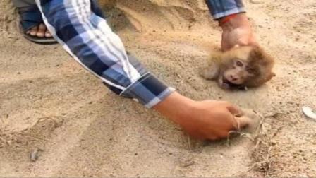 """猴子不慎触电,将其埋进沙子里能""""复活"""",这有科学依据吗?"""