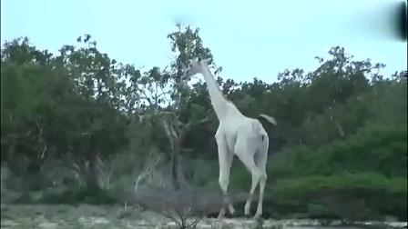 大草原上拍到罕见的纯白色长颈鹿,这是几级保护动物