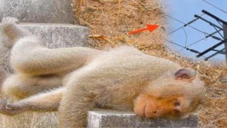 """猴子爬上高压电线,不料却被电压击中,1秒泼猴变""""火猴""""!"""