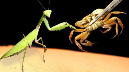 螳螂和螃蟹相遇,镰刀对钳子!谁会更胜一筹?