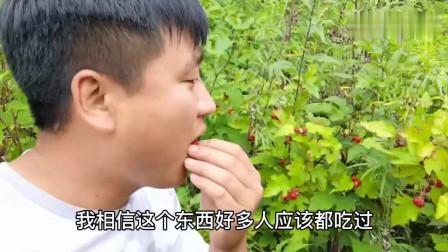 农村小伙上山发现一大片野生树莓,边采边吃,你们有吃过吗?