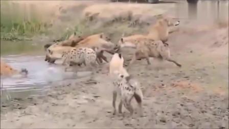 大自然:狮子大战非洲鬣狗的最全的视频,这是我见过打的最精彩的!
