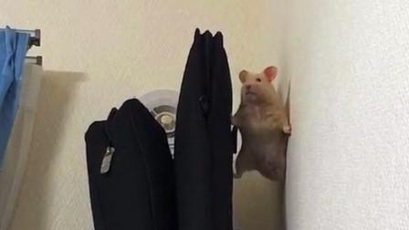 活抓一特工仓鼠,接下来要审讯了!
