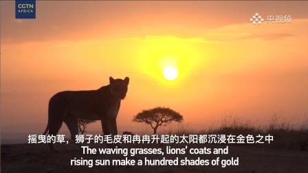 """探秘迁徙之旅,解锁""""草原霸主""""非洲狮的生存日记"""