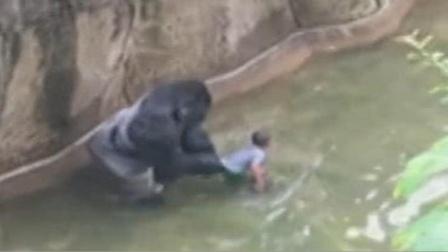 男孩不慎掉入猩猩园,为了救出男孩,无辜的大猩猩惨被击毙!