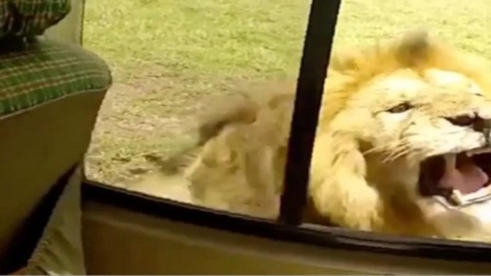 男子作死摸狮子屁股,不料狮子回头了,结局会怎样呢