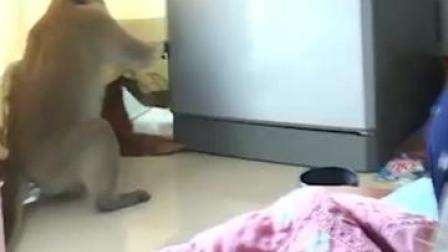 不拿自己当外人?泰国猴哥从阳台进屋 直奔冰箱抱走一袋面包 #泰国猴子