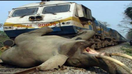 """这里的大象太惨了,每年近""""1000头""""被火车撞死,为什么不装护栏?"""