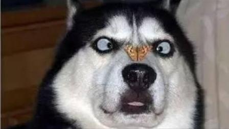 """为什么哈士奇做不了警犬?背后这个原因简直令人""""喷饭""""!网友:脑子是个好东西"""