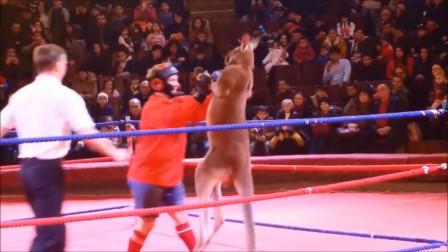袋鼠这项技能就是天生的,当之无愧的拳击高手,从来不吃亏!