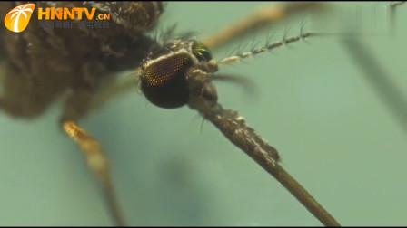 一旦插上了翅膀,雄蚊就有了精力去飞行,并采食花蜜的葡萄糖