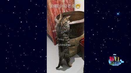 这是我见过最欠扁的猫!大爷来玩啊,撸我不要钱~
