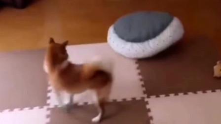 柴犬牌的扫地机,挺好用的!