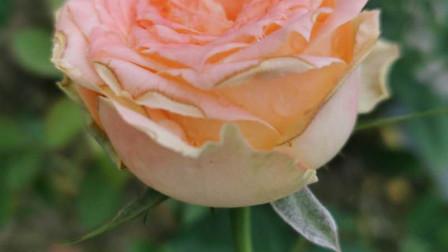 粉色系月季花图片集锦