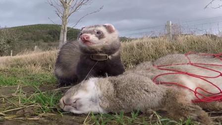 农场野兔泛滥成灾,男子将雪貂放进洞,兔子瞬间炸开锅!
