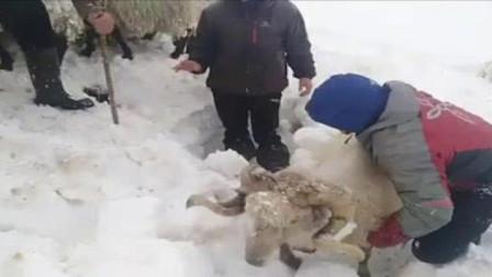 农场主羊走丢了,发现时全被埋在了雪里,已经成了这副模样