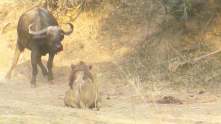 雄狮单挑野水牛的全过程,打斗很精彩,狮子死得很有尊严!