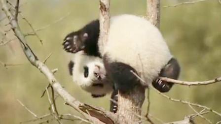 熊猫宝宝再次把头卡住了,下秒出现搞笑瞬间,网友:塑料友情!