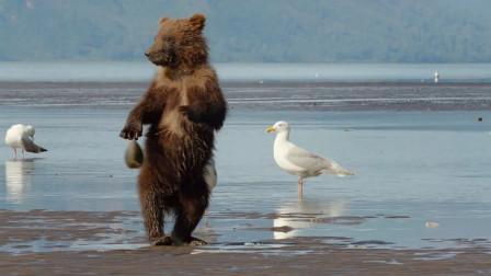 小棕熊寻找食物被夹住了手,提着贝壳到处找妈妈,太搞笑了