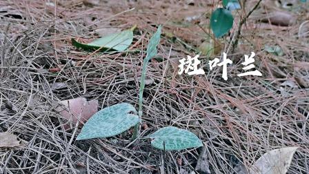东哥帮江苏网友上山找10苗兰花,发现1苗快开花的斑叶兰,真很少见