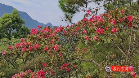 这棵映山红花从夏天开到了秋天,难道是变异了吗?是不是很少见