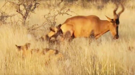 野狗群追击高角羚羊,羚羊拔腿就逃,最后落入野狗群中!