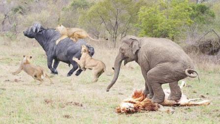 野牛被狮子抓住痛苦不堪,愤怒的大象哥哥前来营救,大战狮子!