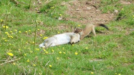 野兔看了一眼黄鼠狼,却栽到了黄鼠狼手中,原来黄鼠狼用这招!