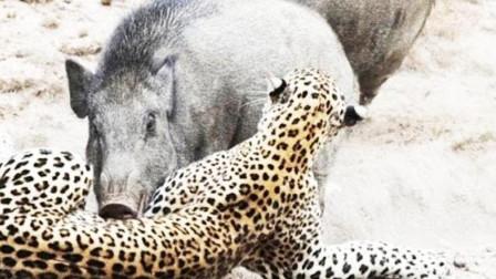 野猪正在找水喝,突然发现身后不对,一转身,豹子撒腿就跑!
